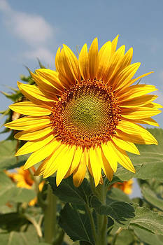 Golden sunflower by Diana Dimitrova