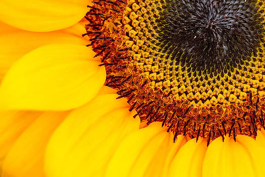 Golden Sunflower by Zev Steinhardt