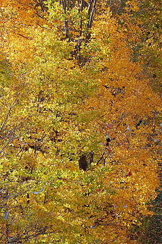Linda Rae Cuthbertson - Golden Trees Fall Foliage Autumn