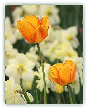 Rosanne Jordan - Golden Tulip Duet