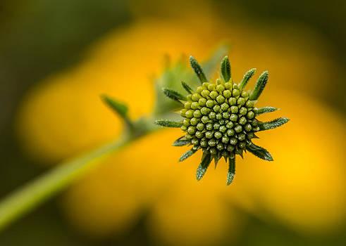 Goldeneye Buds by Steven Schwartzman