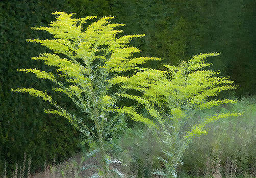 Goldenrod Beside a Hedge by Rob Huntley