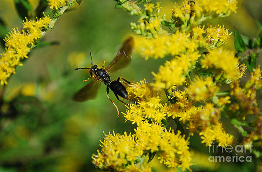 Goldenrod Wasp by Evelyn Allen