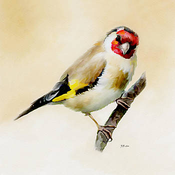 Bamalam  Photography - GoldFinch