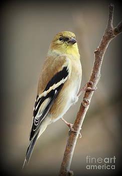 Goldfinch by Ellen Ryan