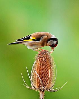 Goldfinch feeding on Teasel comb. by Paul Scoullar