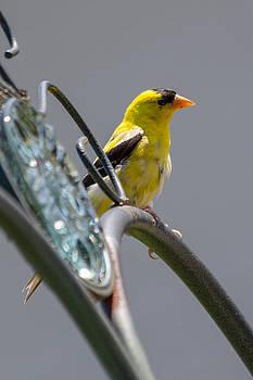 Gaurav Singh - Goldfinch