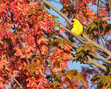 Goldfinch in spring maple tree by Brian Magnier