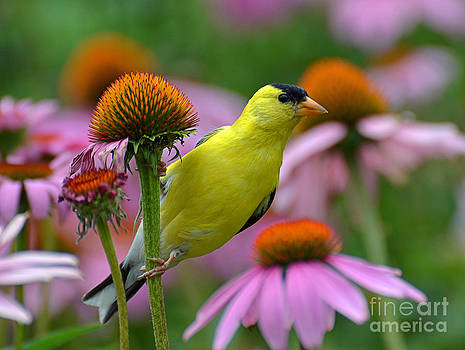 Goldfinch on a Coneflower by Rodney Campbell