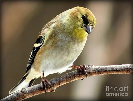 Goldfinch Thinking About It by Ellen Ryan