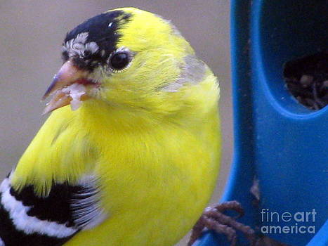 Goldfinch Up Close and Personal by Corinna Garza