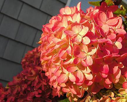 Dawn Hagar - Good morning Hydrangea