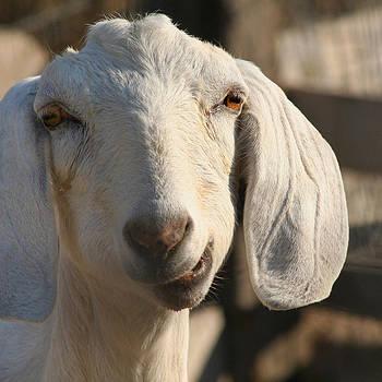 Art Block Collections - Goofy Goat