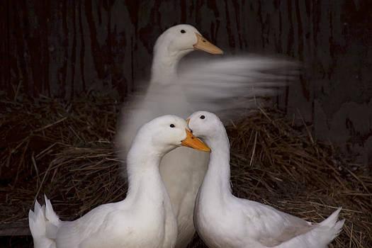 Goose Flaps by Daniel Kasztelan