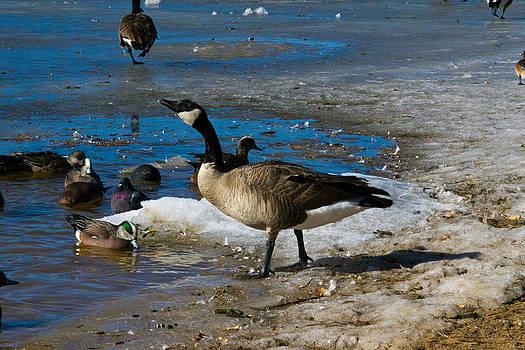 Goose Gazing Greater by Matt Radcliffe