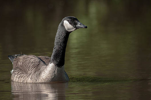 Goose On Pond by Len Romanick