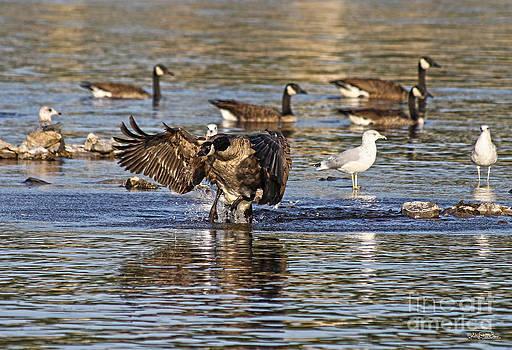 Goose Stepping Canada Goose by Skye Ryan-Evans