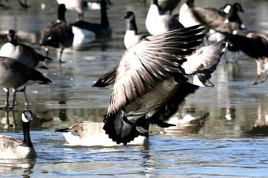Goose Touchdown by Rebecca Adams