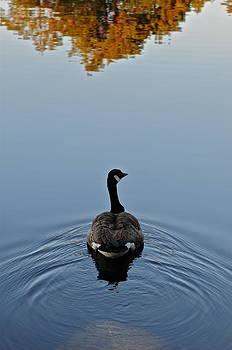 Goose's swim by Eliot Freed