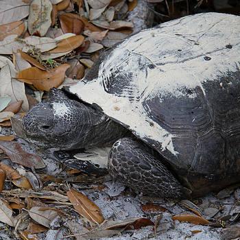Doris Potter - Gopher Tortoise close up
