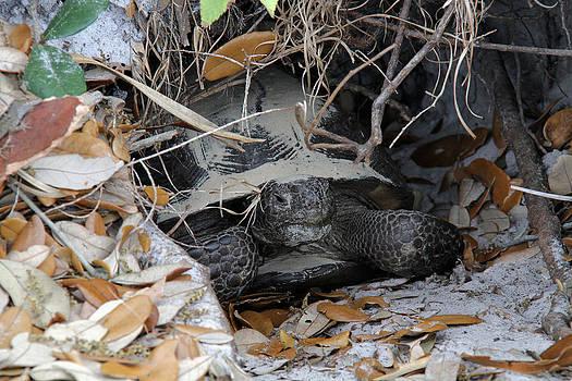 Doris Potter - Gopher Tortoise