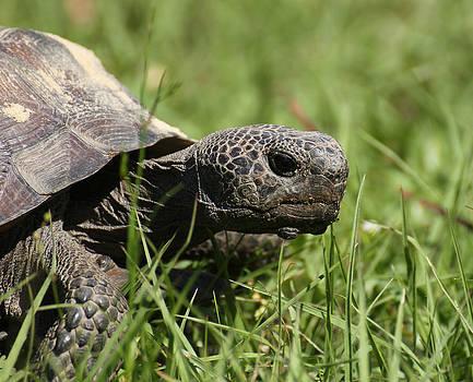 Erin Tucker - Gopher Tortoise