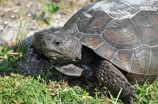 Gopher Tortoise on Honeymoon Island by Bruce Gourley