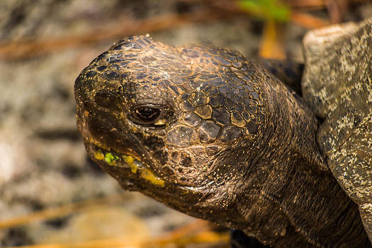 Patti Colston - Gopher Tortoise