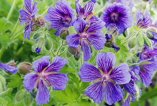 Gorgeous Geraniums by Dana Moyer