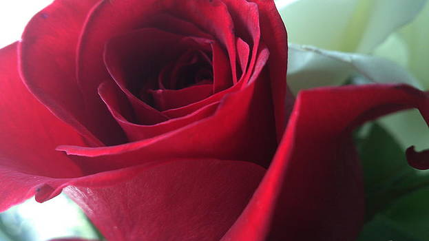 Gorgeous Red Rose by Zeni Shariff