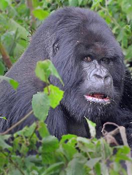 Jeff Brunton - Gorilla 01