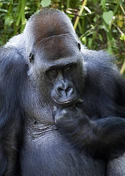 Gorilla by Gillian Dernie