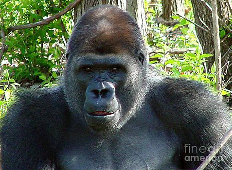Gary Gingrich Galleries - Gorilla Headshot