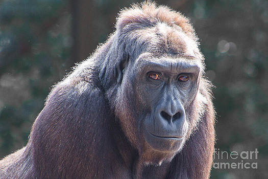 Gorilla Portrait by Kimberly Blom-Roemer