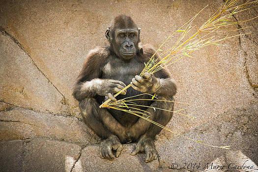 Gorilla Undecided by Marie  Cardona