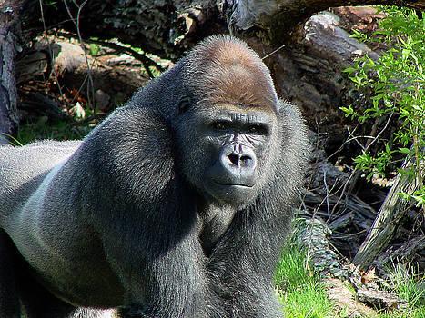 Gary Gingrich Galleries - Gorilla135