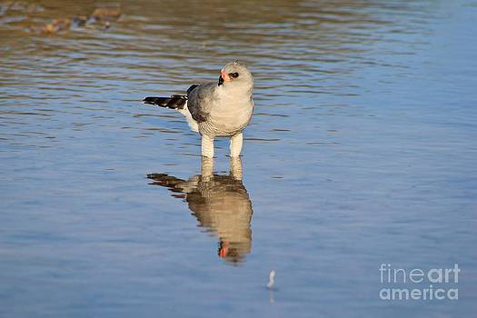Hermanus A Alberts - Goshawk Reflection