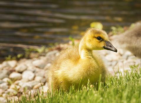 Gosling 2 by Linda Tiepelman