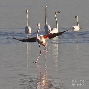 Heiko Koehrer-Wagner - Graceful Flamingo Dance