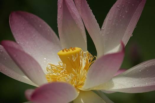 Graceful Lotus by Bonita Hensley