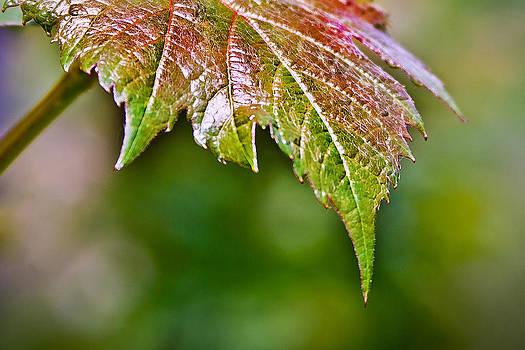 Elvira Pinkhas - Grape Autumn Leaf