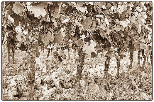 Georgia Fowler - Grape Bunches on the Vine - Toned