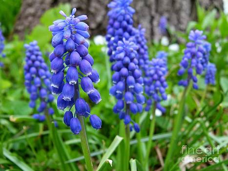 Christine Stack - Grape Hyacinth