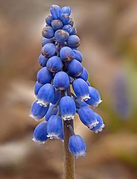 Lara Ellis - Grape Hyacinth Close-up
