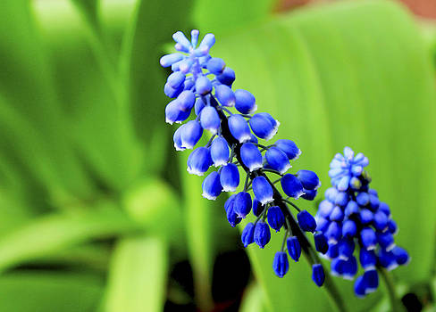 Grape hyacinth by Danielle Allard