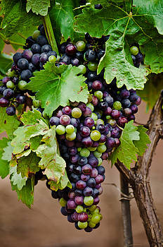 Grape Veraison by Swift Family