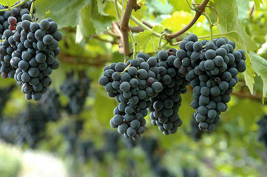 Grapes by Angela Kail
