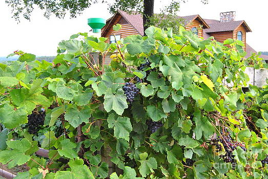 Pamela Smale Williams - GRAPES READY FOR HARVEST ON THE VINE