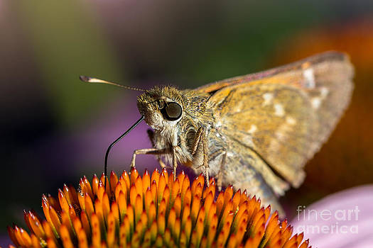 Grass Skipper feeding by Bernd Laeschke