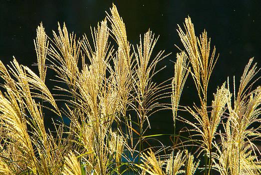 Grasses by Fred L Gardner